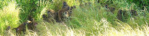 Niokolo Koba animaux babouins